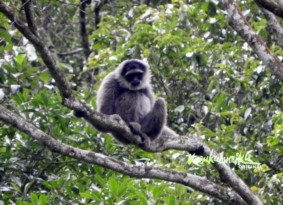 Hylobates moloch Satwa Endemik Pulau Jawa