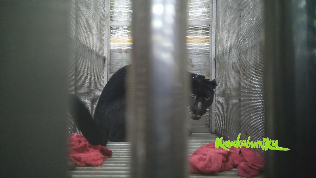 Sepekan di PPSC, Macan Tutul Subang Dilepasliarkan di Kuningan