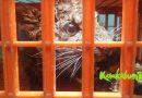 Anak Macan Tutul Diselamatkan di Peternakan Ayam