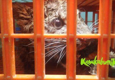 Anak Macan Tutul dari Peternakan Ayam Akhirnya Mati