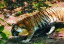 Harimau Jawa Berhasil Difoto Warga ?